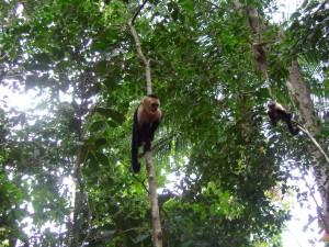 Monos Carablanca. Playa Matapalos, Costa Rica