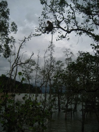 Mono narigudo en Bako
