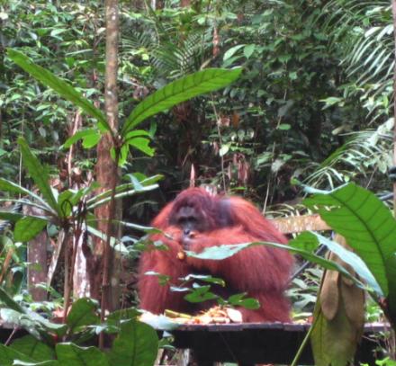 Orangutan en el Semengoh Widlife Rehabilitation Centre