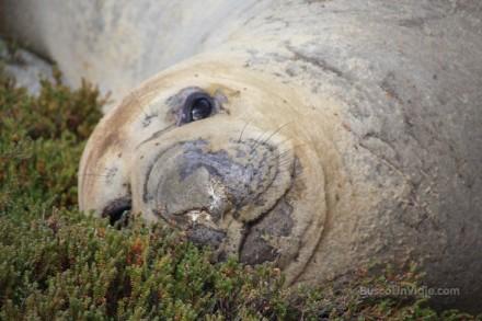Viaje a Chile. Bahía Ainsworth. Elefantes marinos