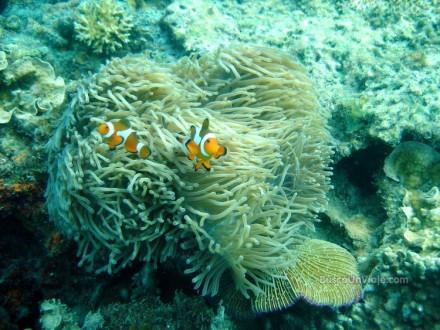 Pulau Redang. Anémonas con peces Payaso