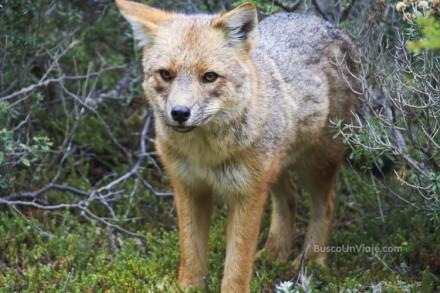 Zorro en Parque Nacional Tierra de Fuego en Ushuaia - Argentina