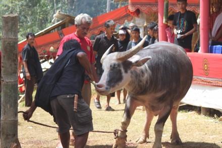 Búfalo asistente a funeral Toraja, todos saben cómo acabará a pesar de lo que ha costado traerlo hasta aquí