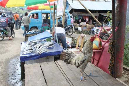 Gallo paseando por el mercado de Bolu (no está a la venta)