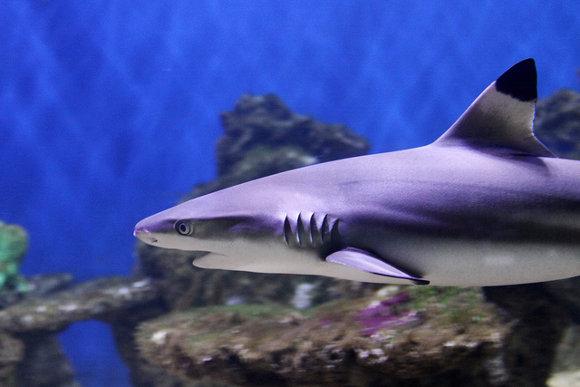 Bucear con tiburones en Bali