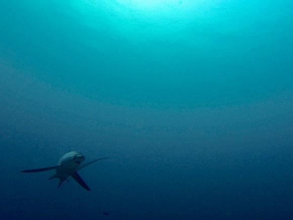 Bucear con tiburones en Malapascua