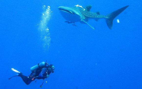 Bucear con tiburones en el Mar Rojo