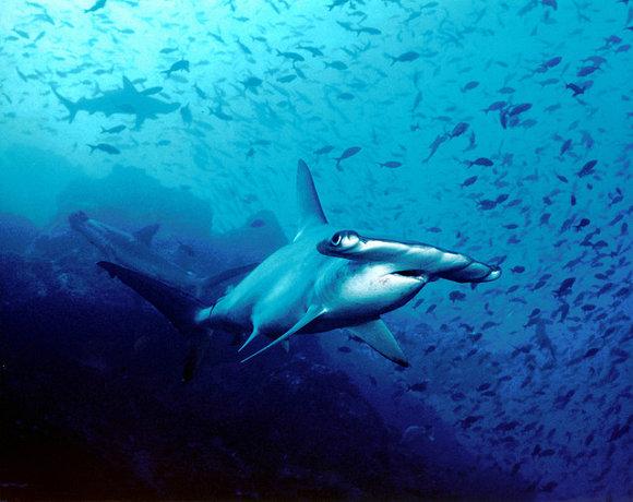 Bucear con tiburones en las islas Cocos