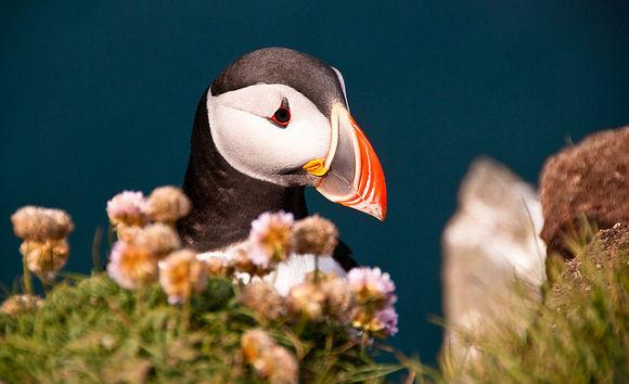 Viajes A Islandia para ver al Puffin o frailecillo