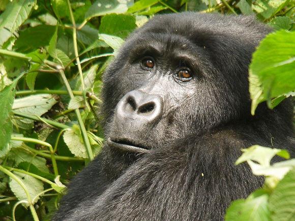 Viajes para ver gorilas a Uganda