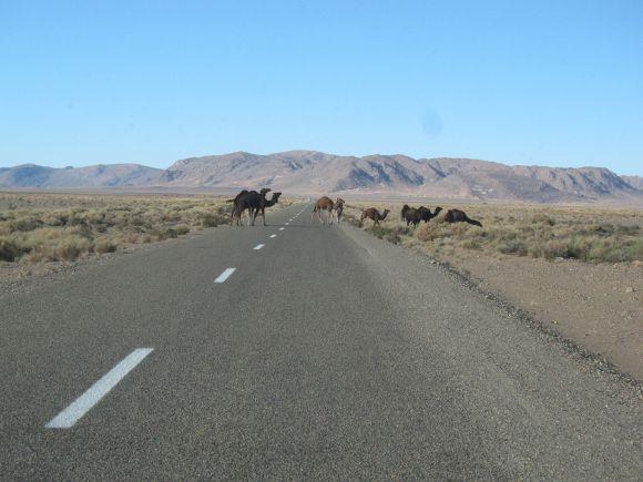 Camellos cruzando la carretera