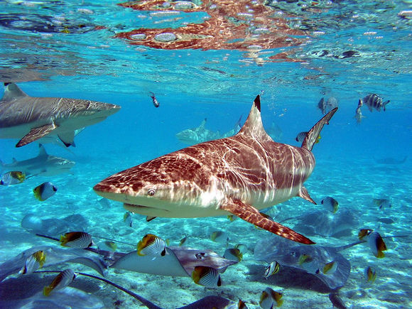 Tiburón en Bora Bora, Polinesia Francesa