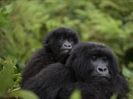 Safaris para ver gorilas en Uganda